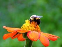 Alto abejorro del parque de Toronto en una flor roja 2017 Imagenes de archivo
