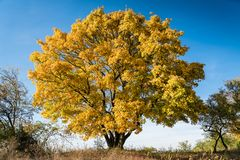 Alto albero di acero di autunno con le foglie gialle immagine stock