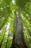 Alto albero di faggio fotografie stock