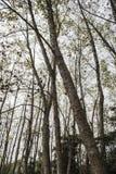 Alto albero trasversale in autunno Fotografia Stock Libera da Diritti