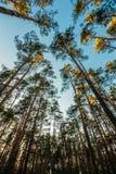 Alto allungamento diritto dei pini verso il cielo Fotografie Stock Libere da Diritti