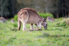 Alto chiuso del canguro Immagini Stock Libere da Diritti