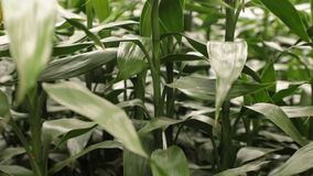 Alto clip de la película de la definición del follaje de bambú afortunado almacen de video