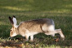 alto coniglio attento selvaggio fotografia stock