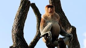 Alto de observación del mono de probóscide en los troncos metrajes