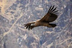 Alto del vuelo del cóndor para arriba sobre el barranco de Colca imagen de archivo libre de regalías