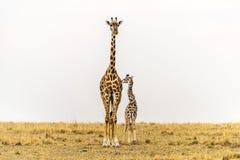 Alto derecho - madre de la jirafa de Massai y becerro recién nacido en prados de Massai Mara National Reserve, Kenia Fotografía de archivo