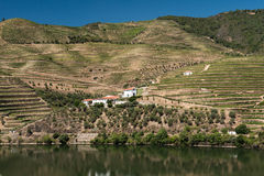 Alto Douro vingård, Portugal Royaltyfri Bild