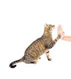 Alto entrenado cinco del gato Imagen de archivo libre de regalías