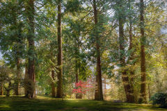 Alto ereto entre as árvores de Giants no jardim japonês de Portland em Oregon Imagem de Stock