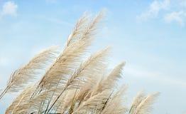 Alto fiore bianco dell'erba sul cielo Immagine Stock