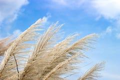Alto fiore bianco dell'erba sul cielo Fotografia Stock