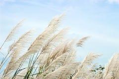 Alto fiore bianco dell'erba sul cielo Immagine Stock Libera da Diritti