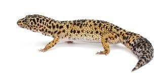 Alto gecko amarillo del leopardo, Eublepharis imagen de archivo