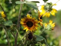 Alto girasole di definizione in piccolo giardino privato immagini stock