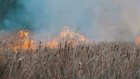 Alto incendio fuera de control grande terrible en la estepa del bosque La hierba seca de la estepa está quemando en otoño profund almacen de metraje de vídeo