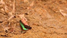 Alto metraggio di definizione della farfalla comune di moscone azzurro della carne stock footage
