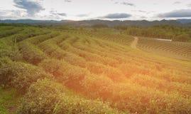 Alto orizzonte della montagna della piantagione di tè verde della collina Fotografia Stock