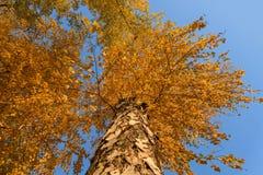 Alto otoño de la opinión inferior del abedul Foto de archivo libre de regalías