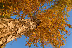 Alto otoño de la opinión inferior del abedul Imágenes de archivo libres de regalías