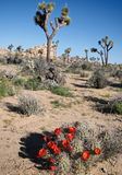 Alto paesaggio del deserto e cactus di fioritura Fotografie Stock Libere da Diritti