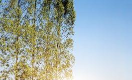 Alto pino nell'agricoltura del campo Fotografia Stock Libera da Diritti
