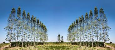 Alto pino nell'agricoltura del campo Immagini Stock