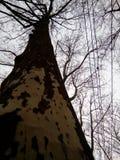 Alto Platan riposa sui rami nel cielo Fotografie Stock