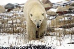 alto polare vicino dell'orso Immagini Stock Libere da Diritti