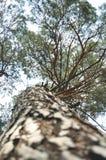 Alto punto di vista del pino da sotto Immagini Stock Libere da Diritti