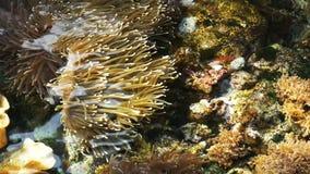 Alto punto di vista delle colonie, degli anemoni e del pesce di corallo del pagliaccio archivi video