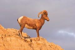 Alto Ram del varón de las ovejas de Bighorn del desierto del animal salvaje foto de archivo