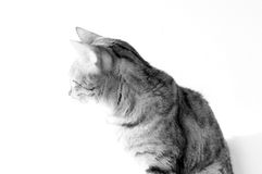 Alto ritratto chiave del gatto del Bengala Immagine Stock