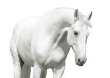 Alto tasto del cavallo bianco Fotografia Stock
