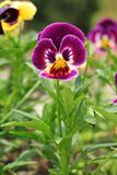Alto tricolore sur le fond naturel Pansy Flowers Photos stock