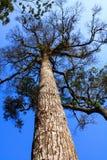 Alto vecchio albero. Fotografia Stock