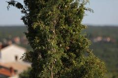 Alto verde de la picea en las montañas en Croacia foto de archivo libre de regalías