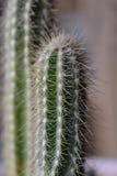 Alto vicino del cactus Fotografie Stock