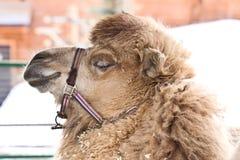 Alto vicino del cammello fotografia stock libera da diritti