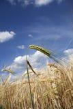 Alto vicino del campo di mais Immagine Stock