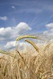 Alto vicino del campo di mais Fotografia Stock Libera da Diritti