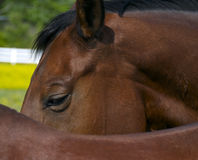 Alto vicino del cavallo Fotografie Stock