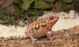 Alto vicino del Chameleon Immagine Stock Libera da Diritti