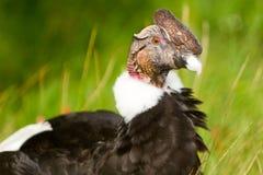 Alto vicino del Condor fotografia stock