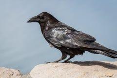 Alto vicino del corvo Immagini Stock Libere da Diritti