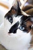 Alto vicino del gatto Immagine Stock Libera da Diritti