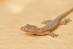 Alto vicino del Gecko fotografia stock libera da diritti
