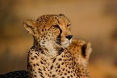 Alto vicino del ghepardo Immagine Stock
