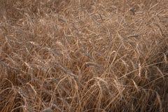 Alto vicino del grano, giacimento di grano Agricoltura ed agricoltura Nuovo raccolto sul giacimento di grano Fotografia Stock Libera da Diritti