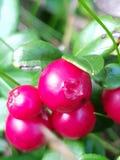 Alto vicino del Lingonberry Fotografia Stock Libera da Diritti